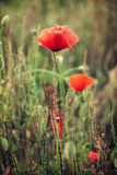 Beautiful red corn poppy flowers (Papaver rhoeas) in the meadow Royalty Free Stock Images