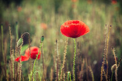 Beautiful red corn poppy flowers (Papaver rhoeas) Royalty Free Stock Image