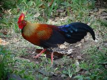 Wild fowl sri lankan jungle fowl royalty free stock image