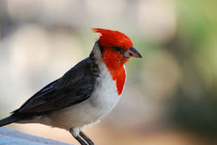 Beautiful Red Crested Cardinal Bird on a Railing Stock Photography