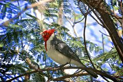 Red Crested Cardinal Bird. Beautiful Red Crested Cardinal bird with red head and white and grey body perched in tree in Hawaii royalty free stock images