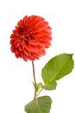 Beautiful red dahlia Royalty Free Stock Image