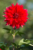 Beautiful Red Dahlia Stock Photo