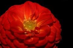 Beautiful red dahlia blossom. A closeup view of a beautiful red dahlia against a black background Stock Photography