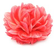 Beautiful Red Dahlia Close-up Royalty Free Stock Photo