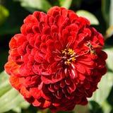 Beautiful Red Dahlia Stock Photos