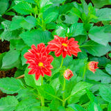 Beautiful red dahlia flower blooming in the garden Royalty Free Stock Photography