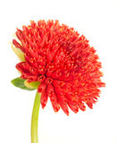 Beautiful red dahlia flower bud Stock Photography