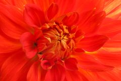 Beautiful red dahlia flower, closeup view. Floral decoration royalty free stock images