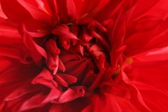 Beautiful red dahlia flower, closeup view. Floral decoration stock images