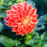 Beautiful red Dahlia flower Stock Photos
