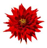 Beautiful red dahlia flower isolated on white background Stock Images