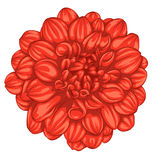 Beautiful red dahlia isolated on white background. Royalty Free Stock Images