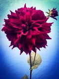 Beautiful Red Dahlia shows her beauty stock images