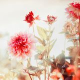 Beautiful red Dahlias flowers in garden or park royalty free stock photos