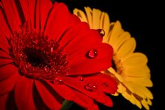 Beautiful daisies whit water drops. Beautiful red daisies whit drops Royalty Free Stock Images