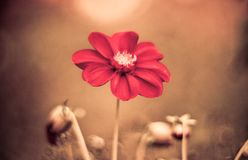 Beautiful red daisy flower slowly spinning on a rotating brown background. Top view royalty free stock photo
