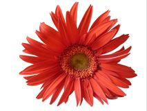 Beautiful red daisy in white background royalty free stock photography