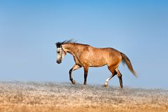 Beautiful red-dappled mare galloping across the field on a background of blue sky. Horse in the mist royalty free stock photos