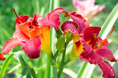 Beautiful red daylily graded on bed Royalty Free Stock Photos