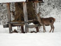 Beautiful red deer in snow covered winter landscape stock photos