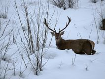 Beautiful red deer in snow covered winter landscape stock image