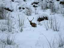 Beautiful red deer in snow covered winter landscape stock photo