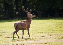 Beautiful red deer stag during Autumn Fall Stock Photography