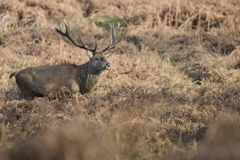 Beautiful red deer stag Cervus Elaphus with majestic antelrs in Autumn Fall froest landscape. Stunning red deer stag Cervus Elaphus with majestic antelrs in stock photo