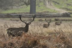 Beautiful red deer stag Cervus Elaphus with majestic antelrs in Autumn Fall froest landscape stock photos
