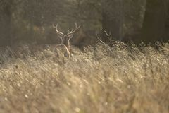 Beautiful red deer stag Cervus Elaphus with majestic antelrs in Autumn Fall froest landscape. Stunning red deer stag Cervus Elaphus with majestic antelrs in royalty free stock photos