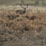 Beautiful red deer stag Cervus Elaphus with majestic antelrs in Autumn Fall froest landscape. Stunning red deer stag Cervus Elaphus with majestic antelrs in royalty free stock images