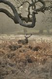 Beautiful red deer stag Cervus Elaphus with majestic antelrs in Autumn Fall froest landscape. Stunning red deer stag Cervus Elaphus with majestic antelrs in stock image