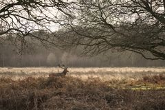 Beautiful red deer stag Cervus Elaphus with majestic antelrs in Autumn Fall froest landscape. Stunning red deer stag Cervus Elaphus with majestic antelrs in royalty free stock photo