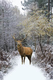 Beautiful red deer stag in snow covered festive season Winter forest landscape royalty free stock photo