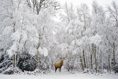 Beautiful red deer stag in snow covered festive season Winter forest landscape stock photography
