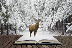 Beautiful red deer stag in snow covered festive season Winter forest landscape concept coming out of pages in open book stock images
