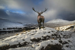 Beautiful red deer stag in snow covered mountain range festive s Royalty Free Stock Photos