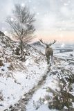 Beautiful red deer stag in snow covered mountain range winter landscape in heavy snow storm royalty free stock photos