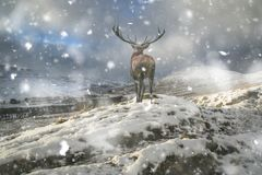 Beautiful red deer stag in snow covered mountain range winter landscape in heavy snow storm stock image