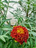 Beautiful  Red Dhalia flower stock image