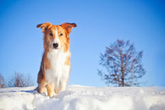 Dog border collie in winter Royalty Free Stock Image