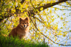 Beautiful red dog in a field Stock Photo