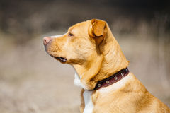 Beautiful red dog in leather collar Royalty Free Stock Photos