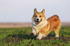 Dog puppy Corgi runs fast on green grass in spring glade with green young grass funny sticking out his tongue and. Beautiful red dog puppy Corgi runs fast on royalty free stock image