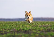 Beautiful red dog puppy Corgi runs fast on green grass in spring meadow funny sticking out his tongue and stretching out little. Red dog puppy Corgi runs fast on royalty free stock photography