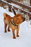 Beautiful red dog Royalty Free Stock Images