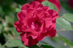 Beautiful red double flower of a rose stock image