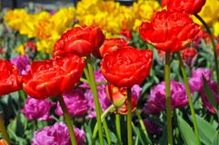 Beautiful red double tulips Royalty Free Stock Photo