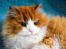 A beautiful red downy Siberian cat with a serious focused look stock photos
